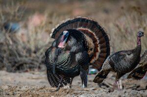 Single Bearded Turkey