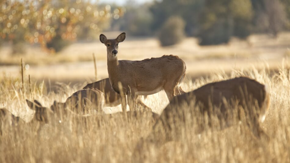 Why Hunting is Critical for Population Control